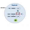 AAV 肝脏基因表达或敲除技术服务