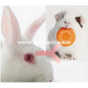 兔抗豚鼠IgG(H+L)