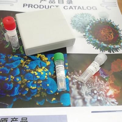 灭活鼠新冠单克隆抗体